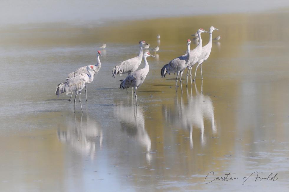 Sandhill Cranes Wading Flock