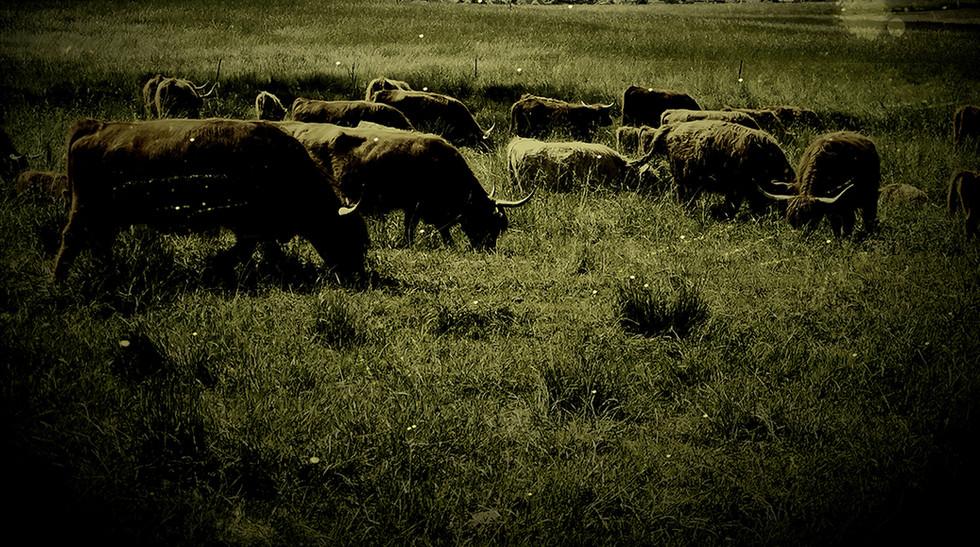cows by Leo Gesess Photographer Switzerland www.comcom.ooo