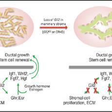 Novel niche signaling for mammary epithelial stem cells