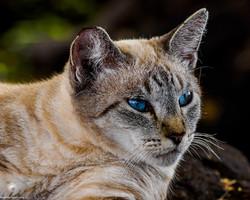 Waikoloa-feral-cats-4-of-22