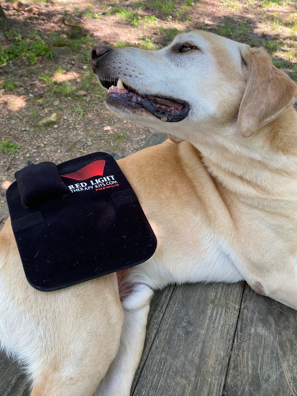 dog receiving red light therapy to help overcome kennel cough