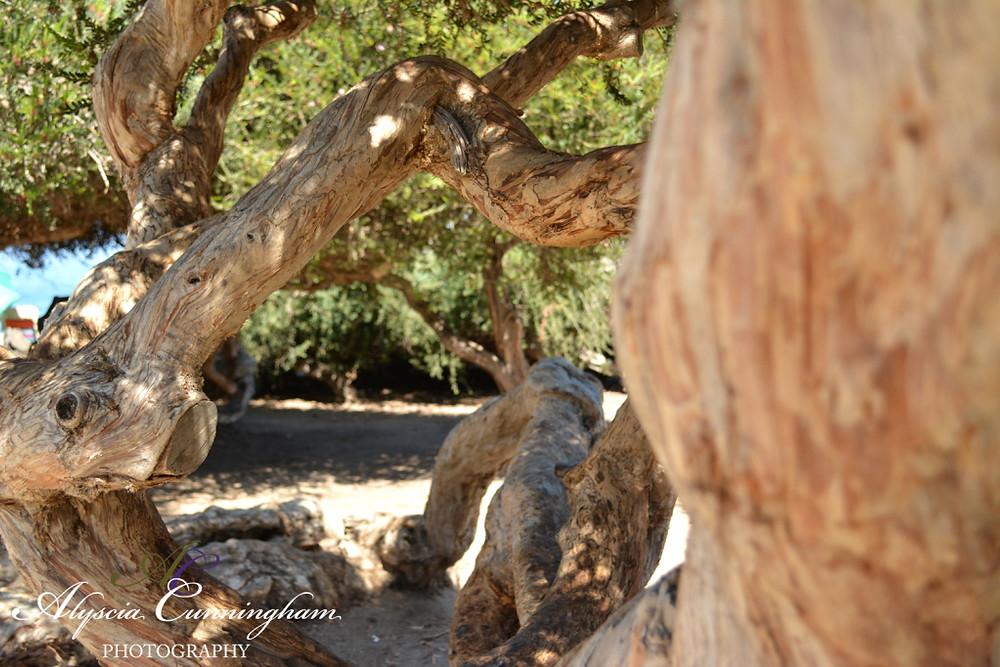 Photo of tree at La Jolla Cove. Taken in San Diego, CA.
