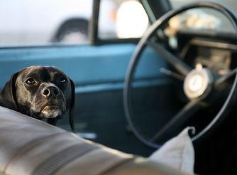 black-lab-dog-behind-wheel-car.jpg