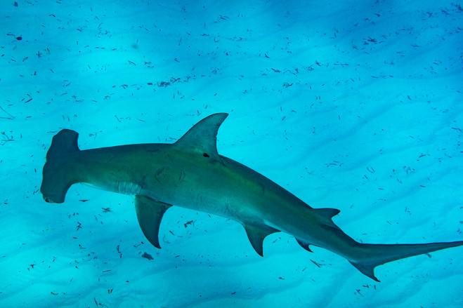 great-hammerhead-shark-01.jpg