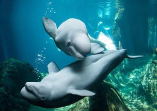 Beluga Whales at Georgia Aquarium