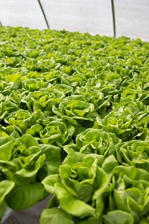 R&G-Lettuce-Farm-Tour-0136.jpg