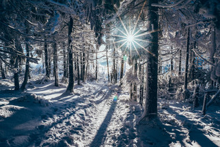 Smrk v zimě