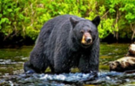 bear1-1518559466_edited.jpg