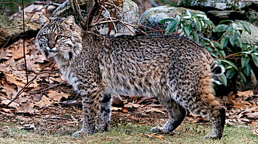 bobcat_near_laurel.jpg