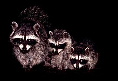 racoon-family2.jpg