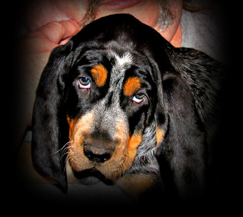 Bluetick Coonhound Cameron Puppies For Sale At Bluestone Blueticks