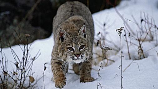 bobcat-2.jpg