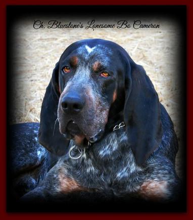 Bluestone Blueticks Old Fashioned Bluetick Coonhound Puppies In Wv