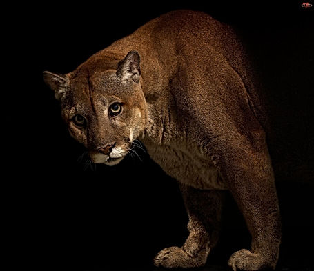 cougar-wallpapers-25435-1597843_edited.j
