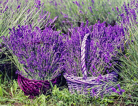 lavender-1478111_1920.jpg