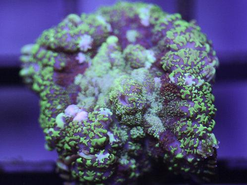 Indo Rhodactis Mushroom