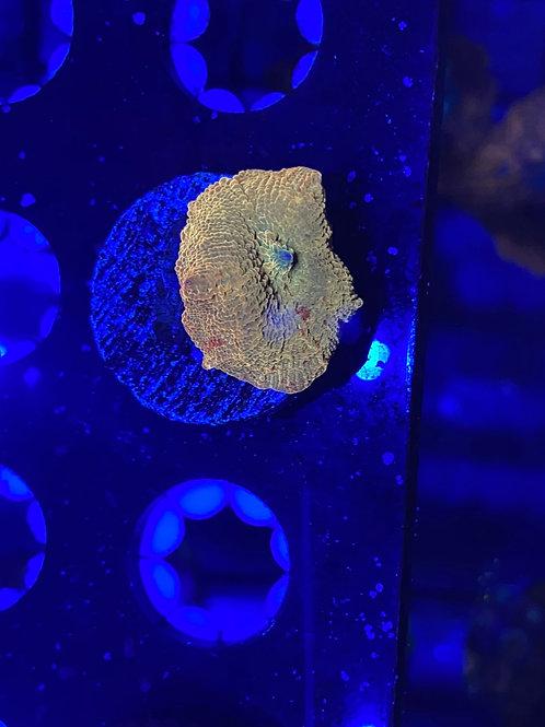 Jawbreaker Mushroom Coral