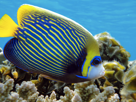 Marine Angelfish