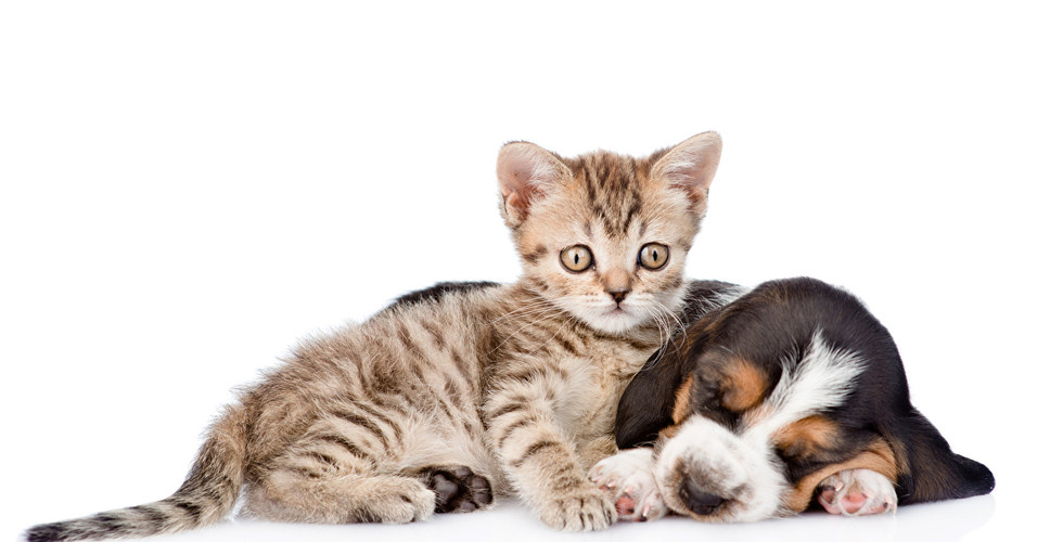Dogs_Cats_White_background_Two_Kittens_B