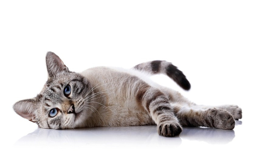 Cat-White-Background-Images.jpg