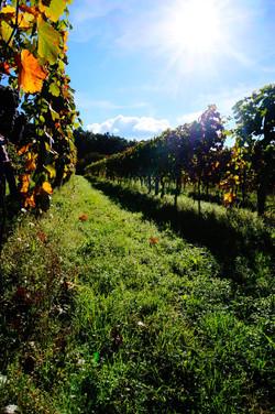 Weingartenbegrünung
