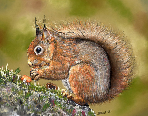 Red Squirrel Limited Edition Print