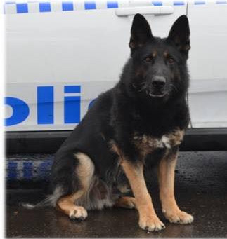 Police Dog Unit devastated at the loss of PD Chuck