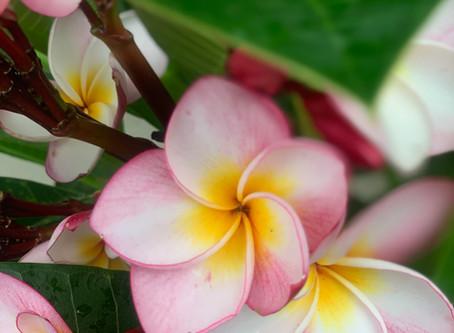 プルメリアの花言葉