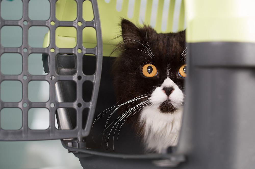 Black cat in crate - Pet CBD at WildLifeRx