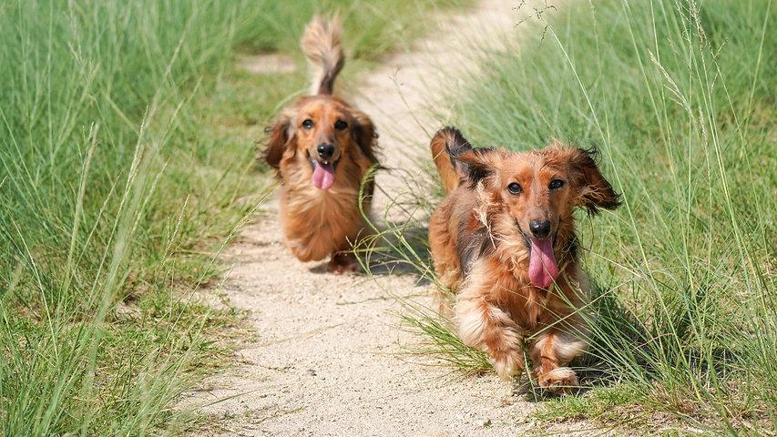 Dogs running in field | WildLifeRx - CBD Store for Pets