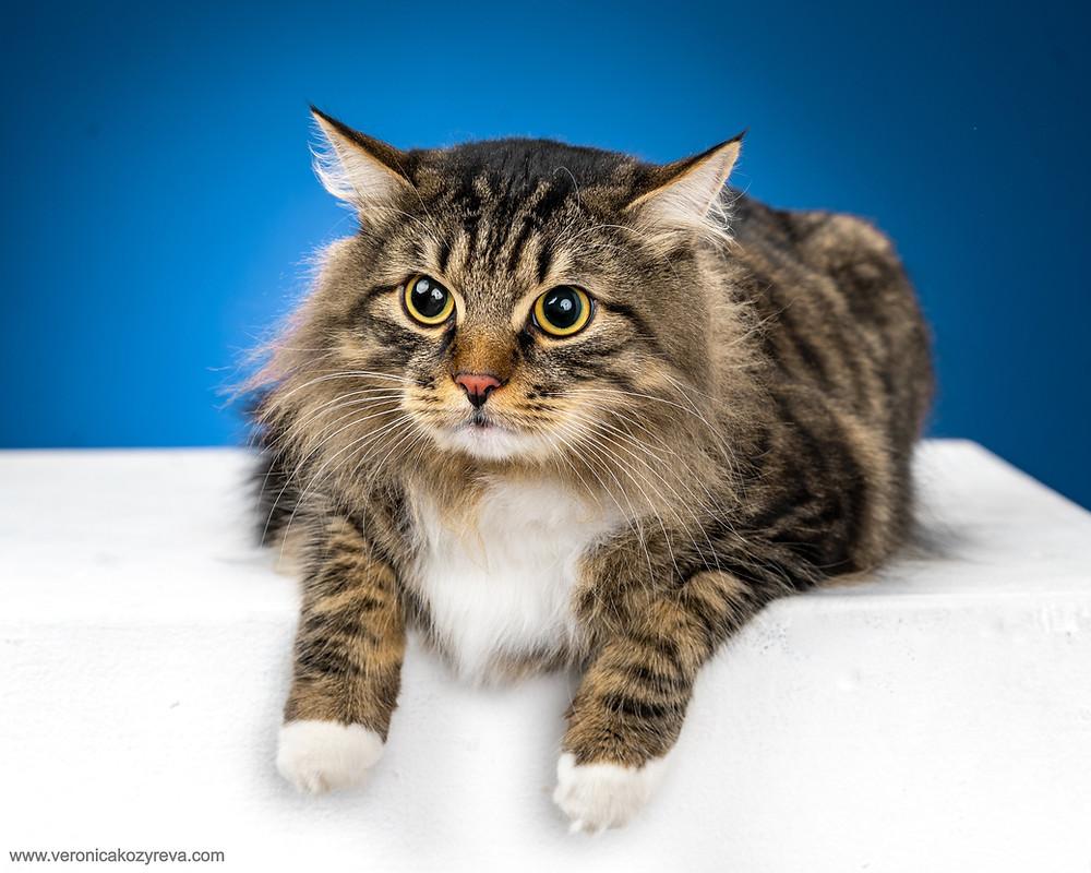 Няпряженный кот на голубом фоне