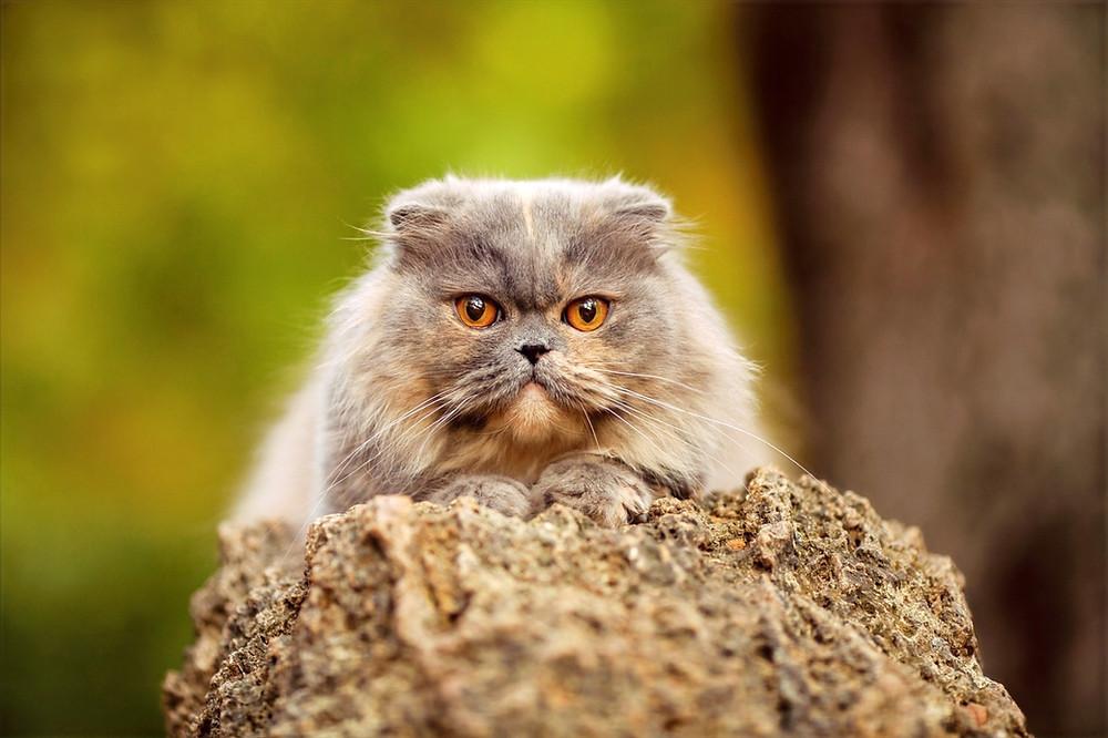 Голубокремовая персидская кошка на природе