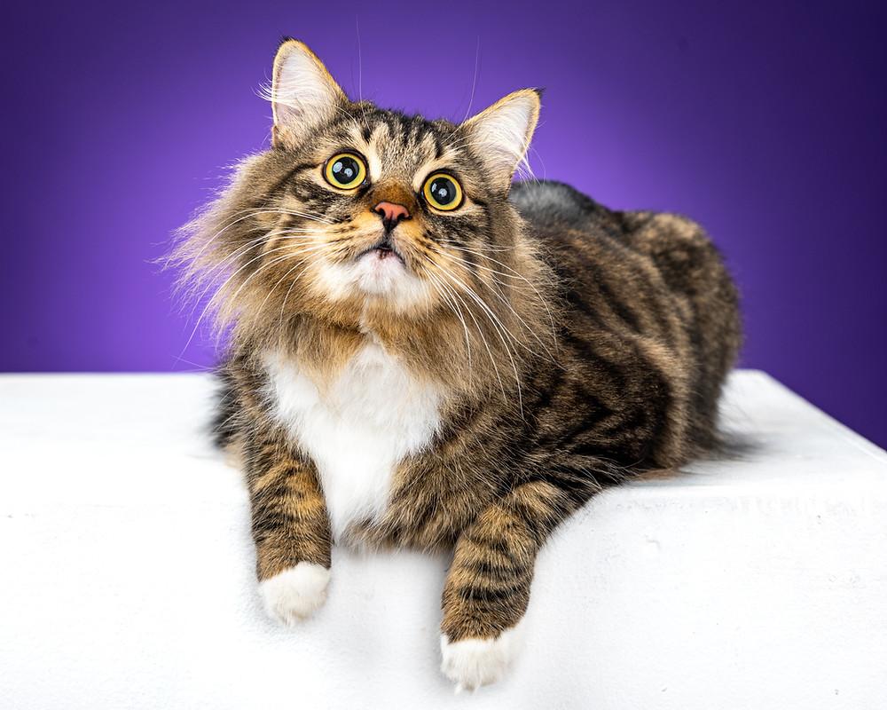 Полосатый кот с белыми лапками на фиолетовом фоне