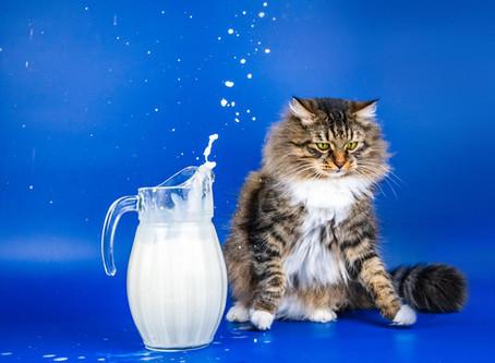 Кошки, молоко и непереносимость лактозы