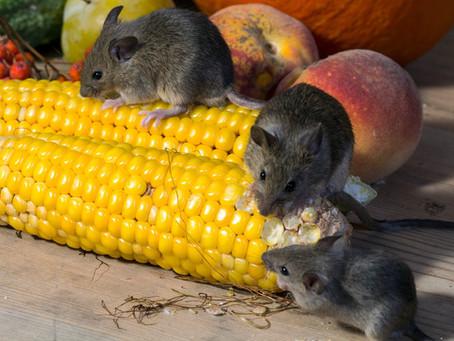 Кормовые мыши: разведение, содержание и прочие аспекты