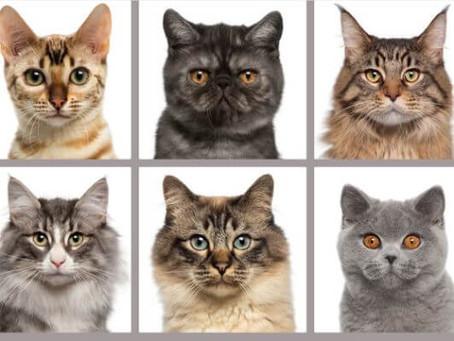 Как отличается рацион для разных пород кошек?
