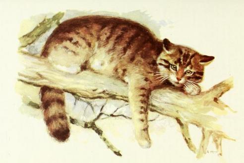 Felis silvestris caucasica Satunin, 1905