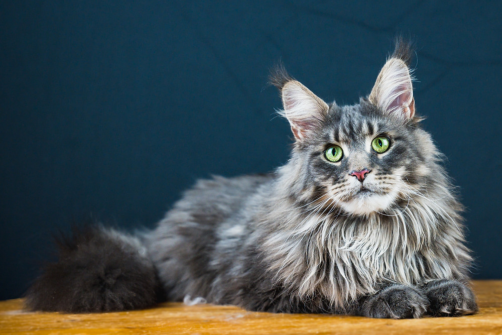 Кошка мейнкун голубого окраса