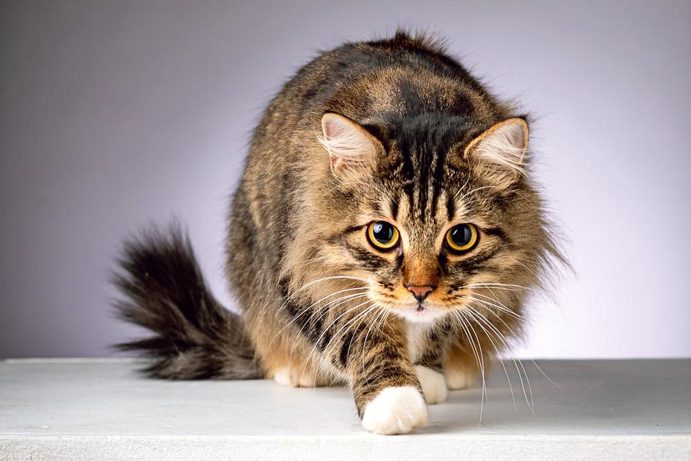Сибирский кот на сером фоне собирается совершить прыжок