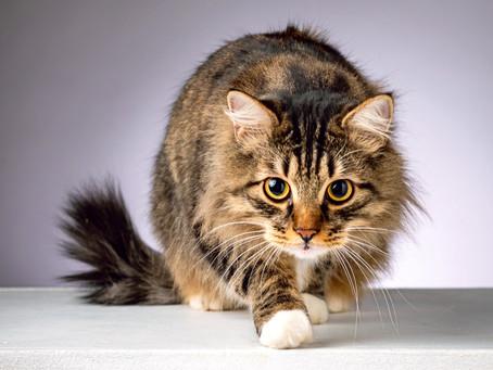 Незаменимые аминокислоты в рационе кошек