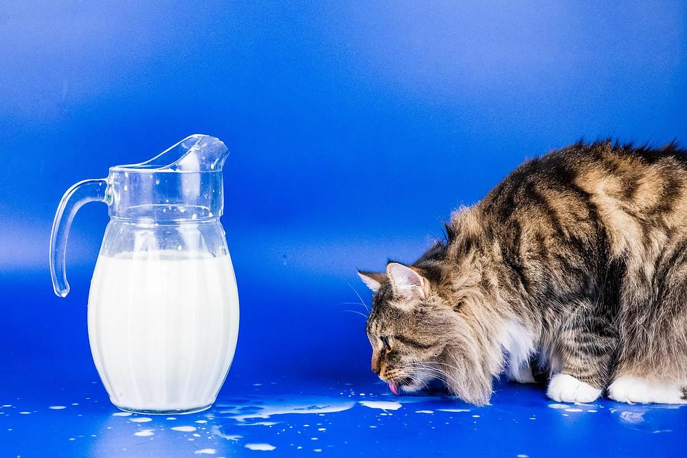 Кот пьет молоко