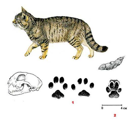 Лесной кот — Felis silvestris