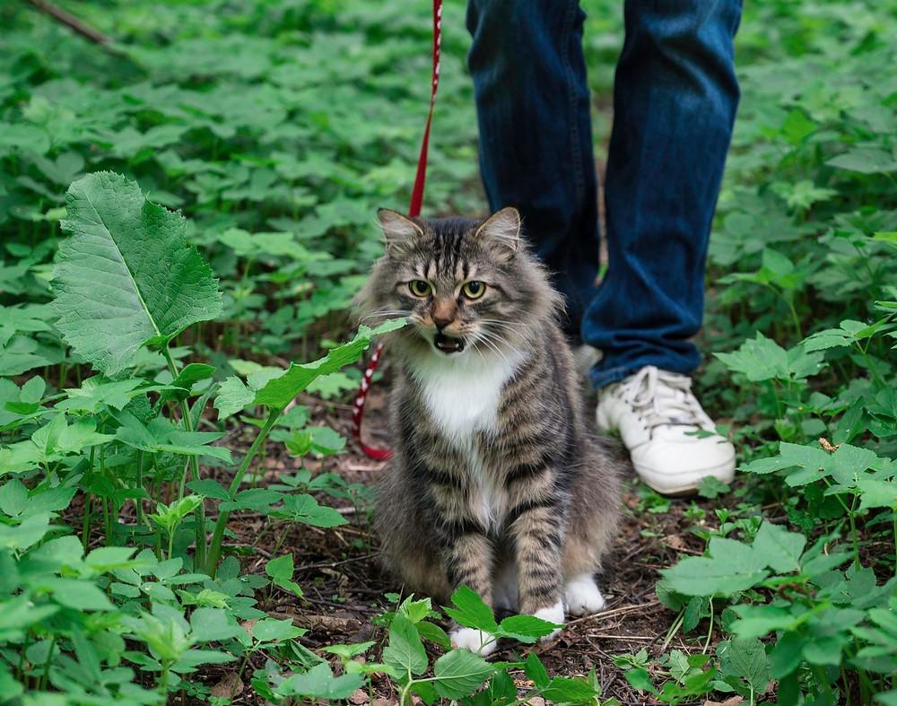 Кот зевает при виде травы на прогулке в парке