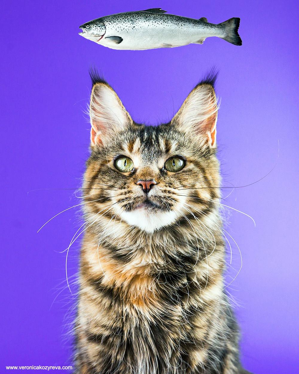 Кошка породы мейнкун из питомника Lynx Shadow. С рождения на натуральном питании