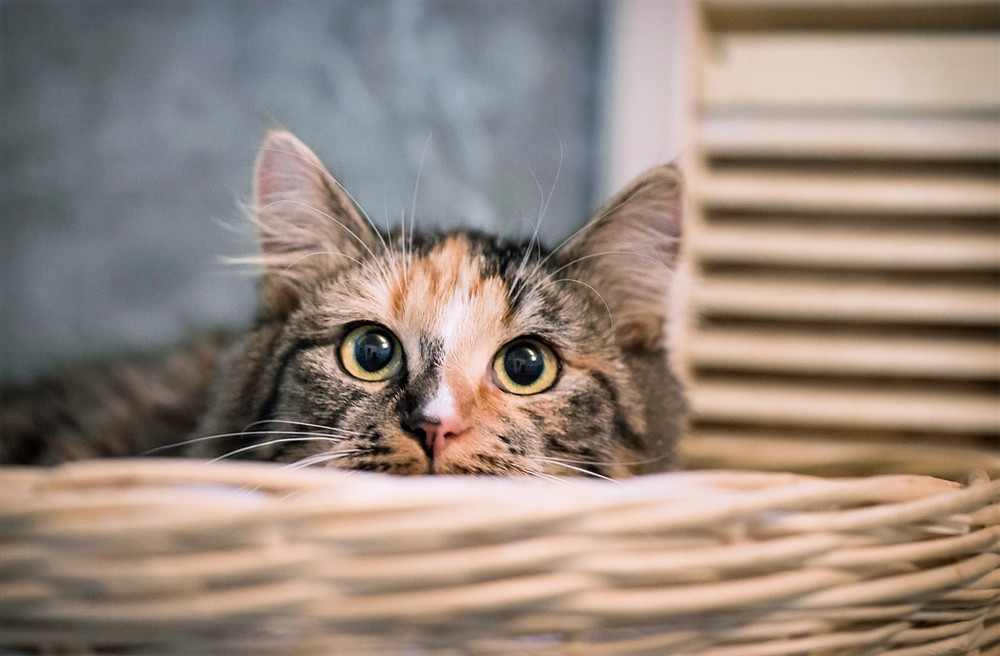 Кошка окраса черепаховый в корзинке