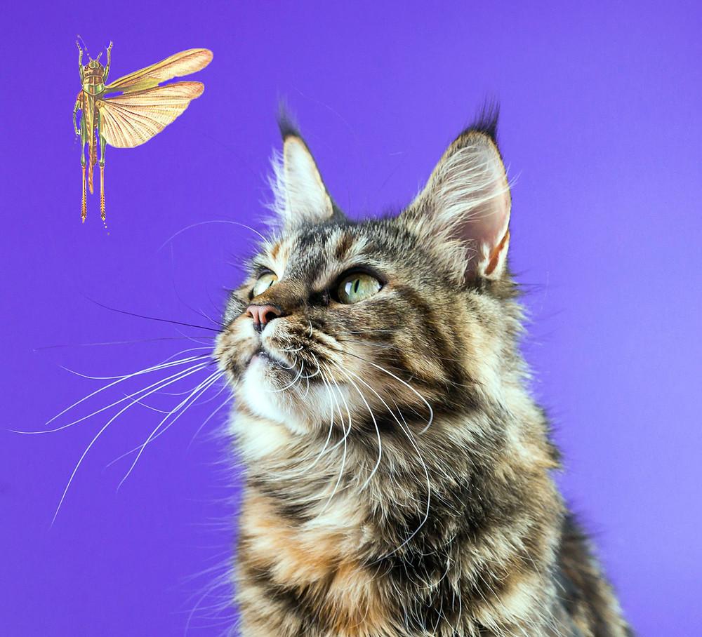 кошка мейнкун и саранча