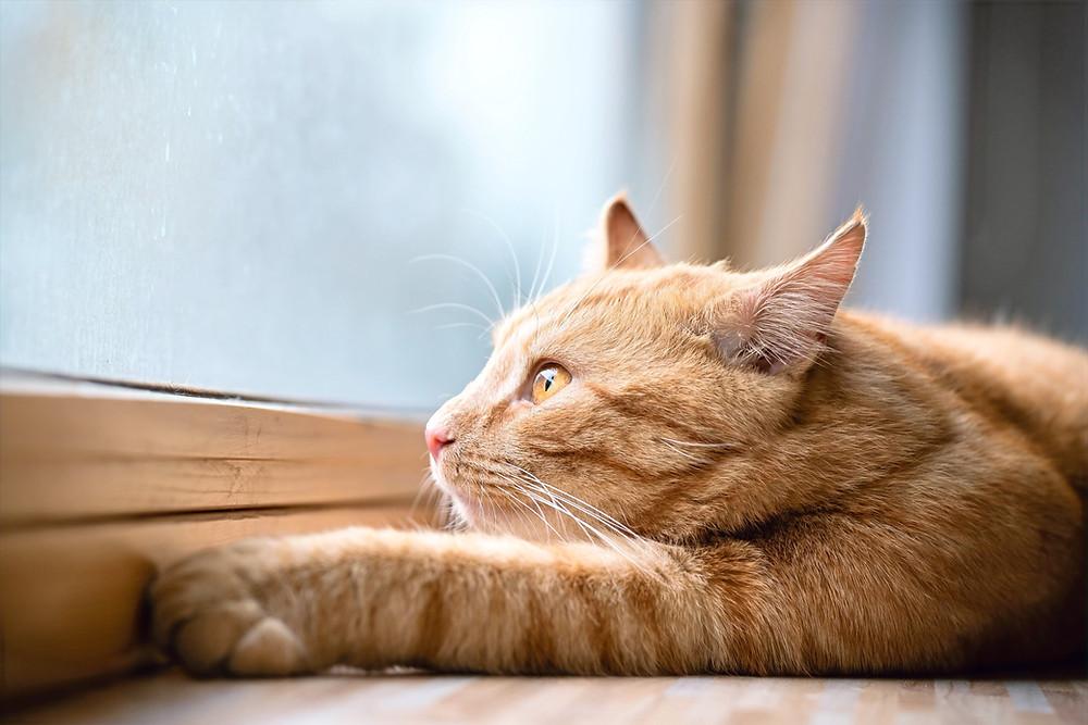 Рыжий кот у окна