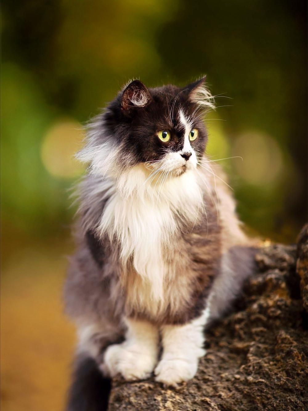 Черно-белый кот на размытом фоне