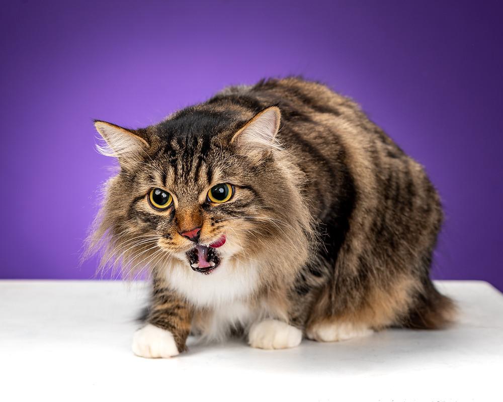 Сибирский кот тигрового окраса на фиолетовом фоне