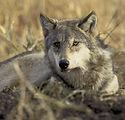 wolf-702820.jpg